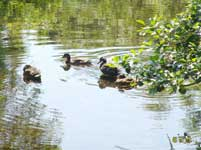 Ducks at Newby Bridge